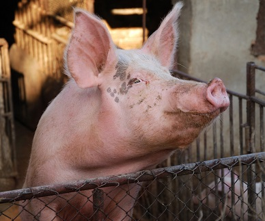 Pig Virus Found in China and Ohio Could Be Threat to Humans